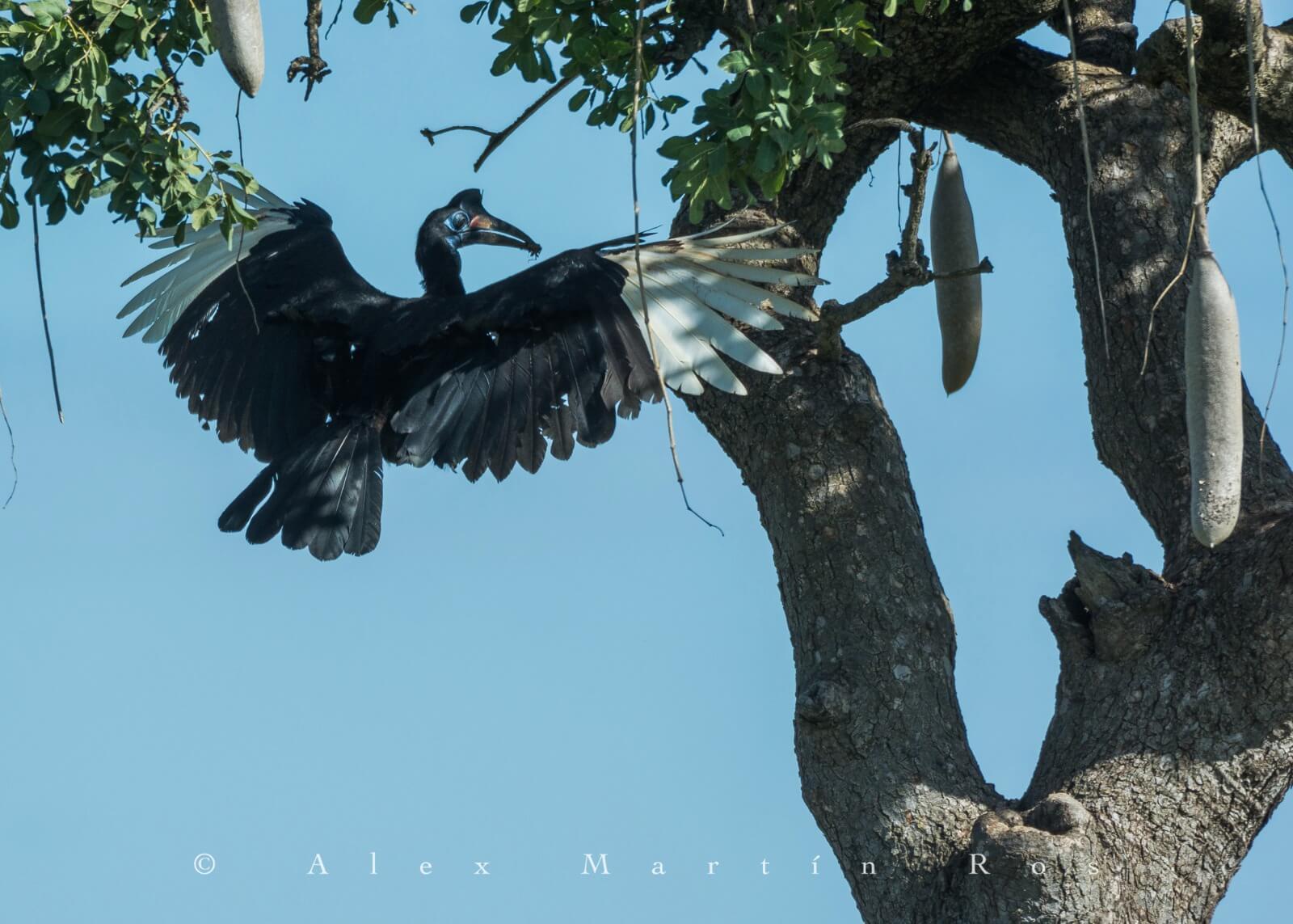 abyssinian ground hornbill etiopia