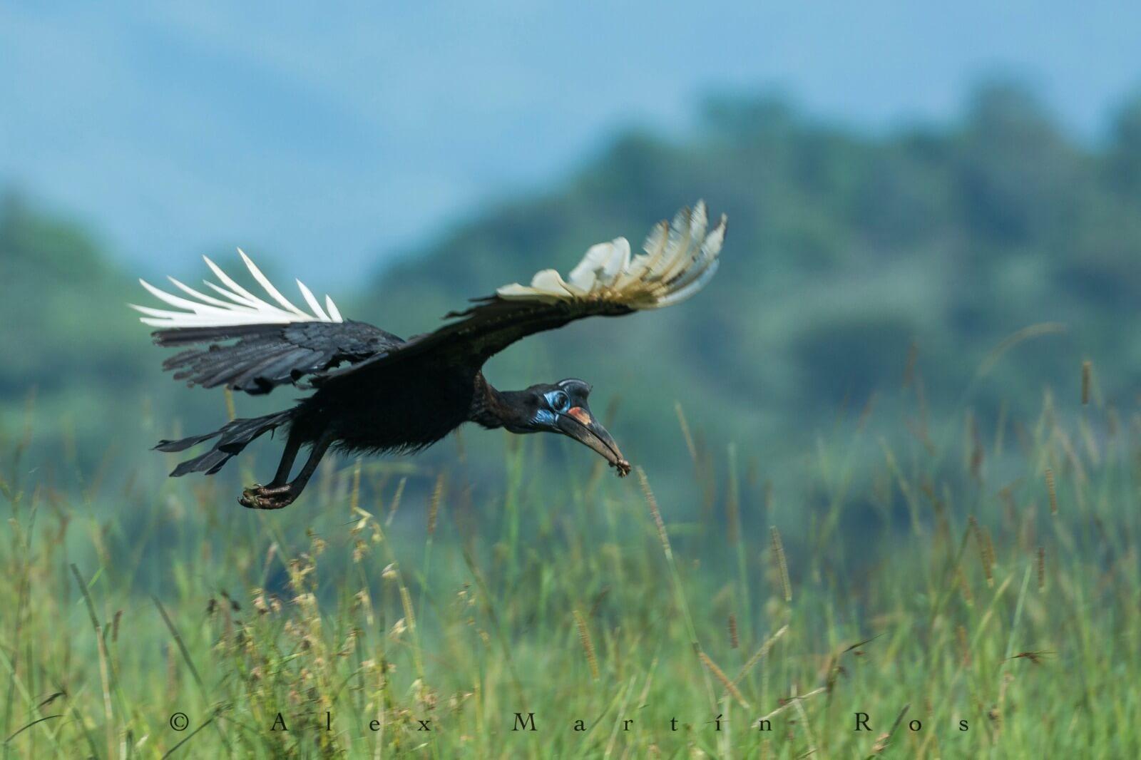 abyssinian ground hornbill Uganda