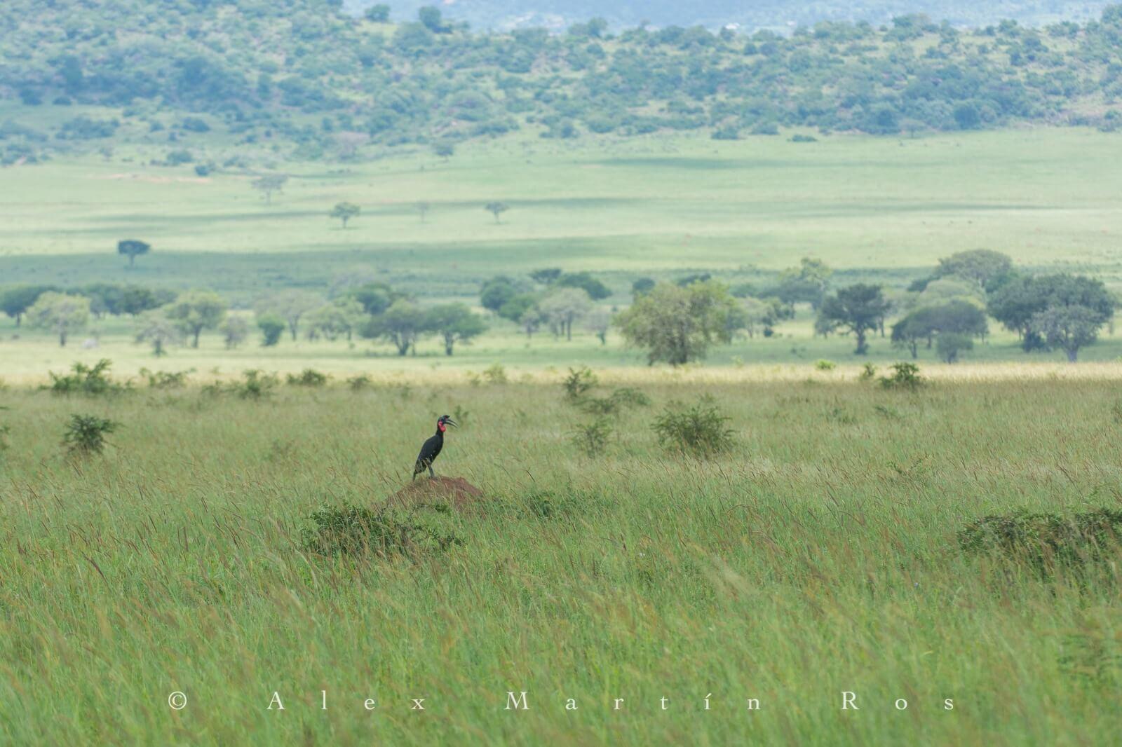 abyssinian ground hornbill
