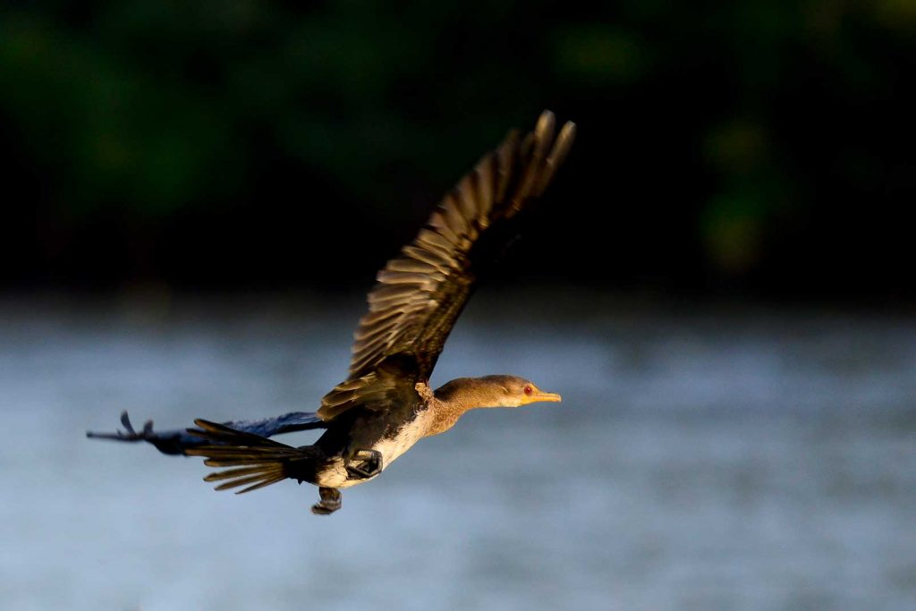 aves-guinea-bissau
