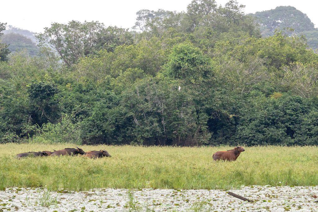 buffalo-akaka-loango-gabon