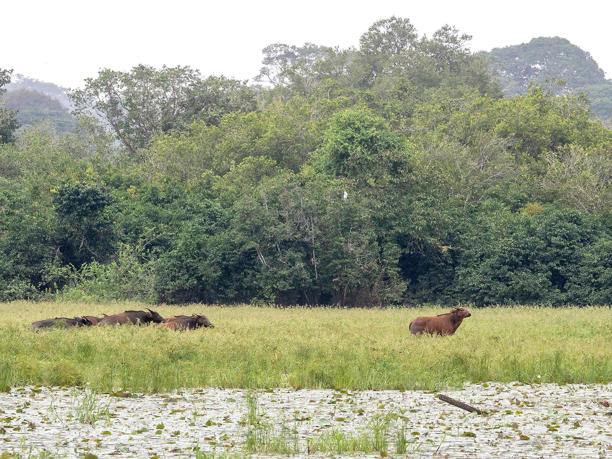 Buffalo Akaka loango Gabon