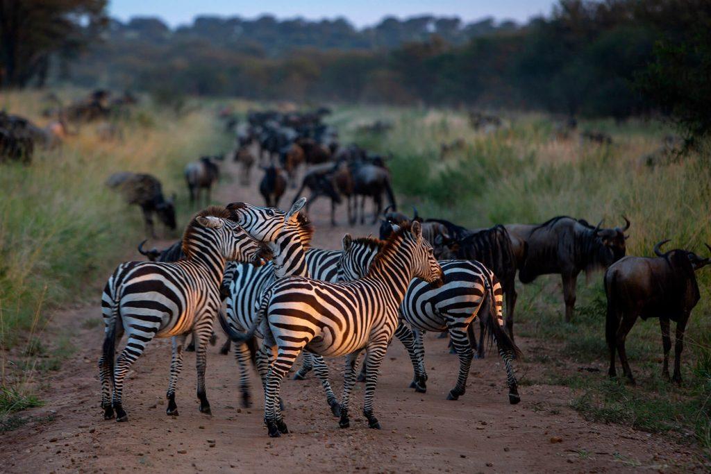cebras-nu-migracion-serengeti