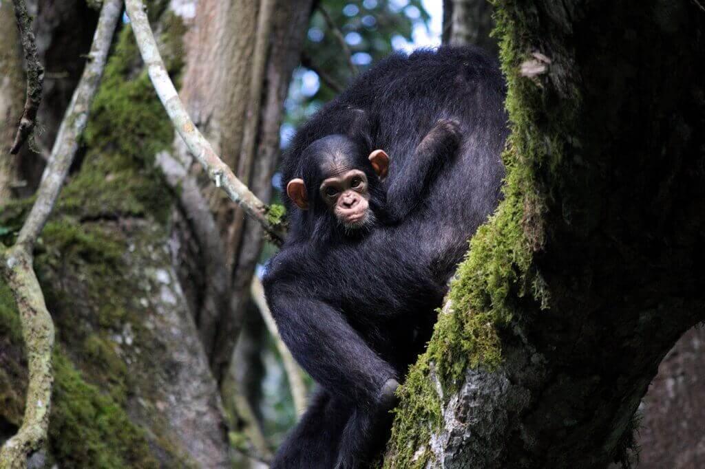 chimpacé kibale uganda