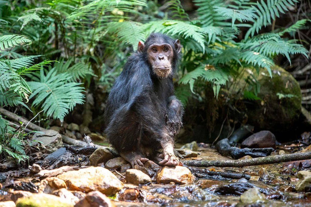 chimpance-river-gombe-tanzania