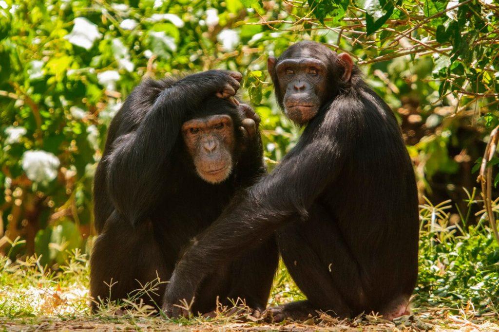 chimpances-uganda-safari