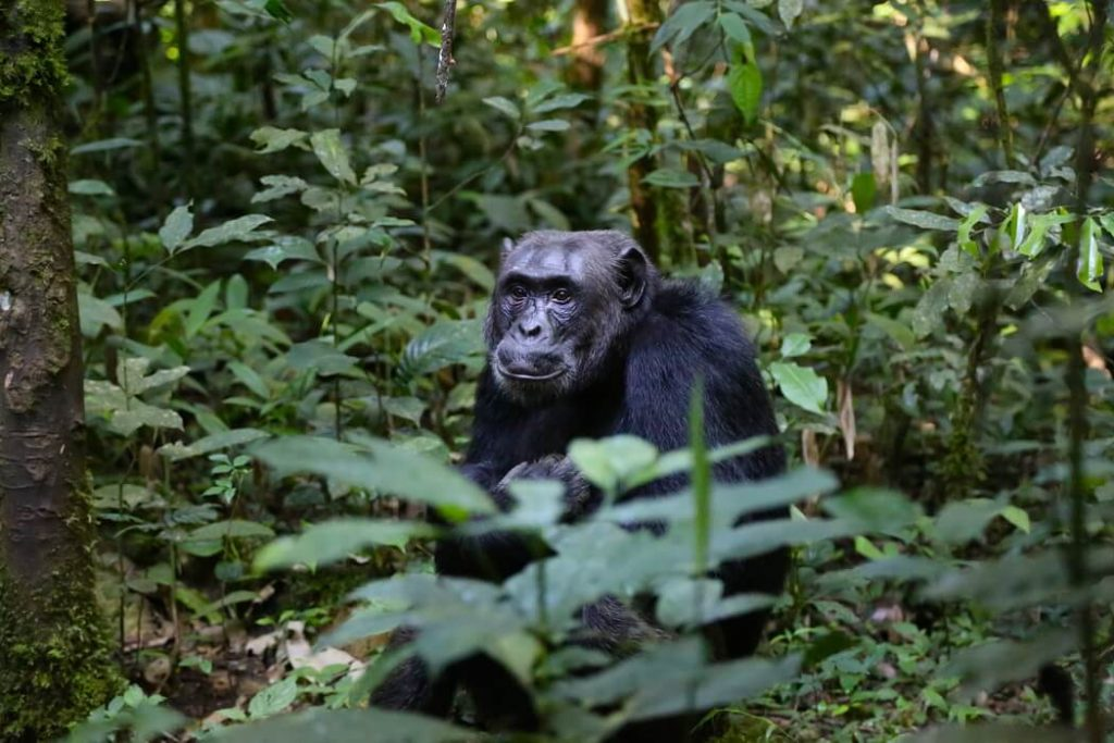 chimpanzee-kibale-uganda