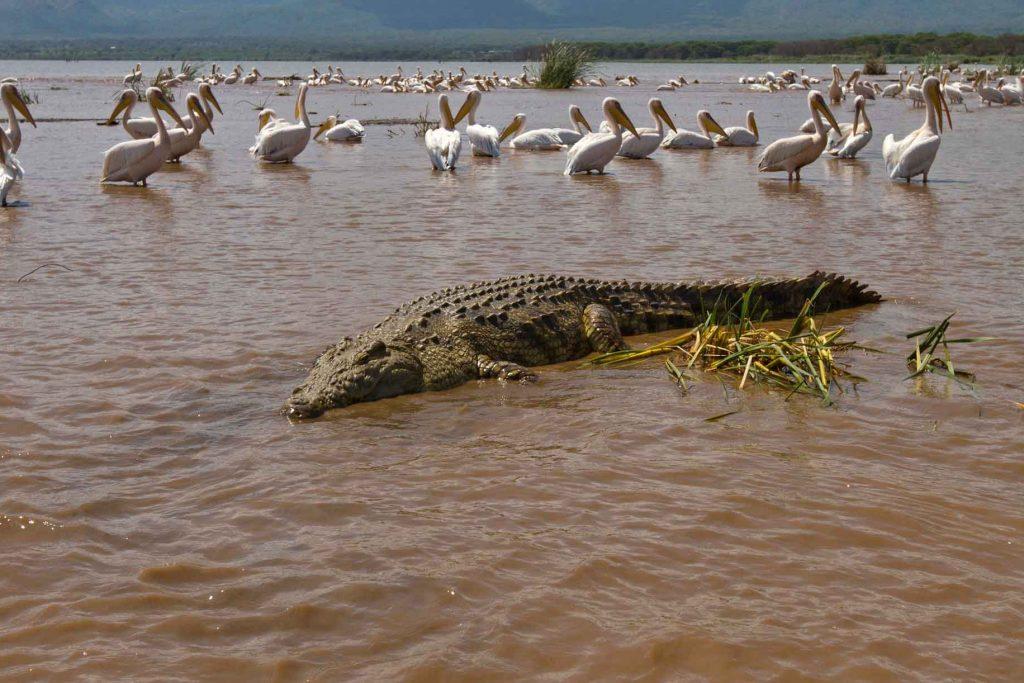 cocodrilo-etiopia-chamo