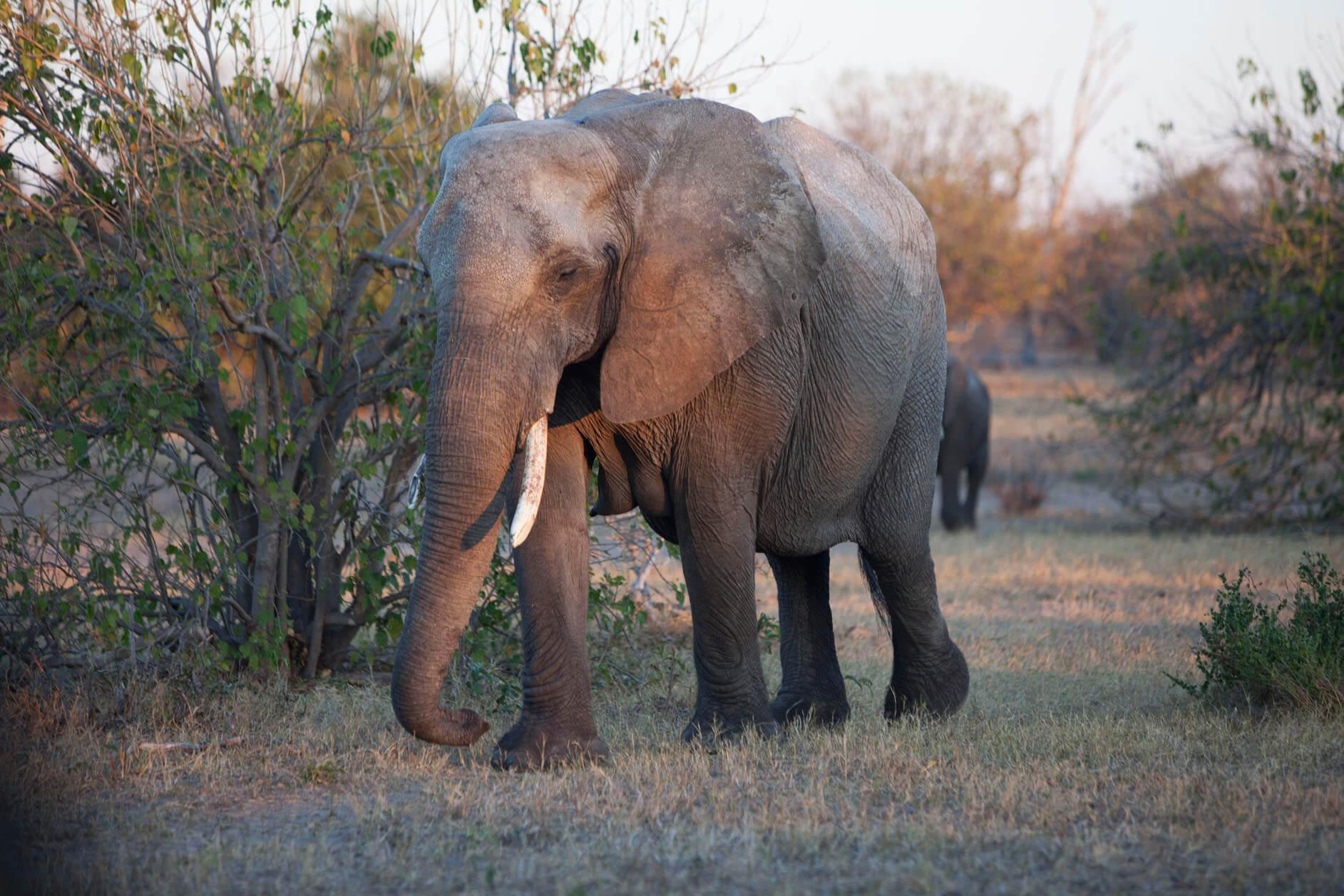 elefante de sabana botswana