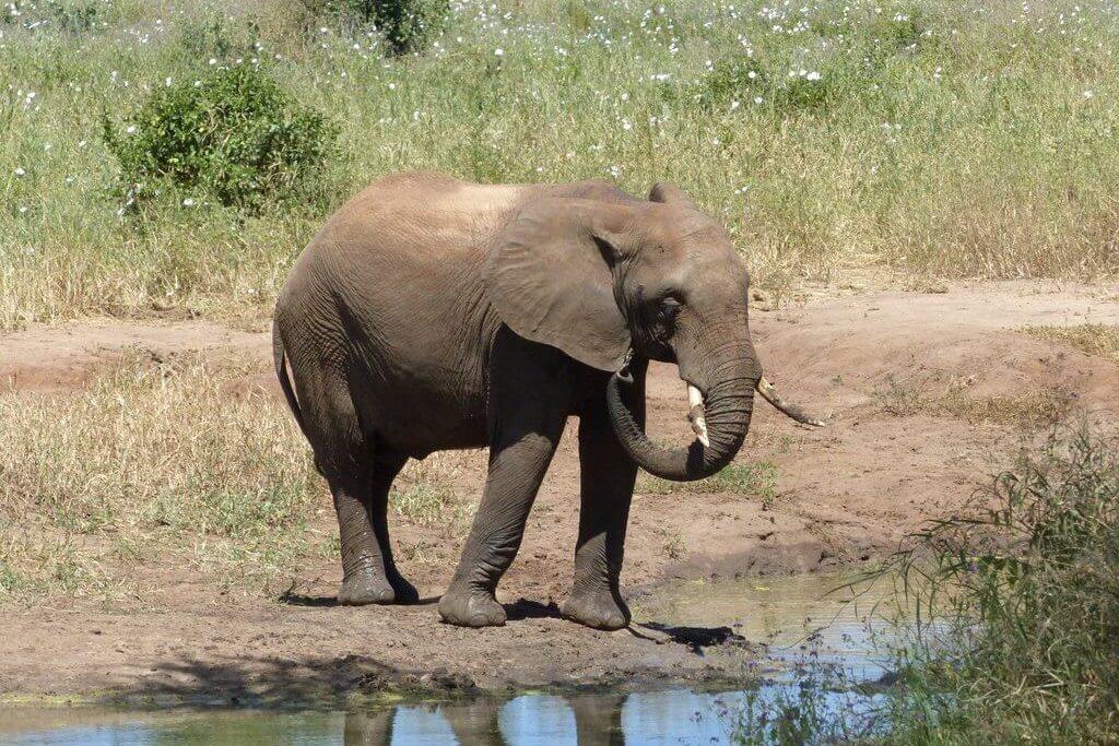 elefante-tanzania-2