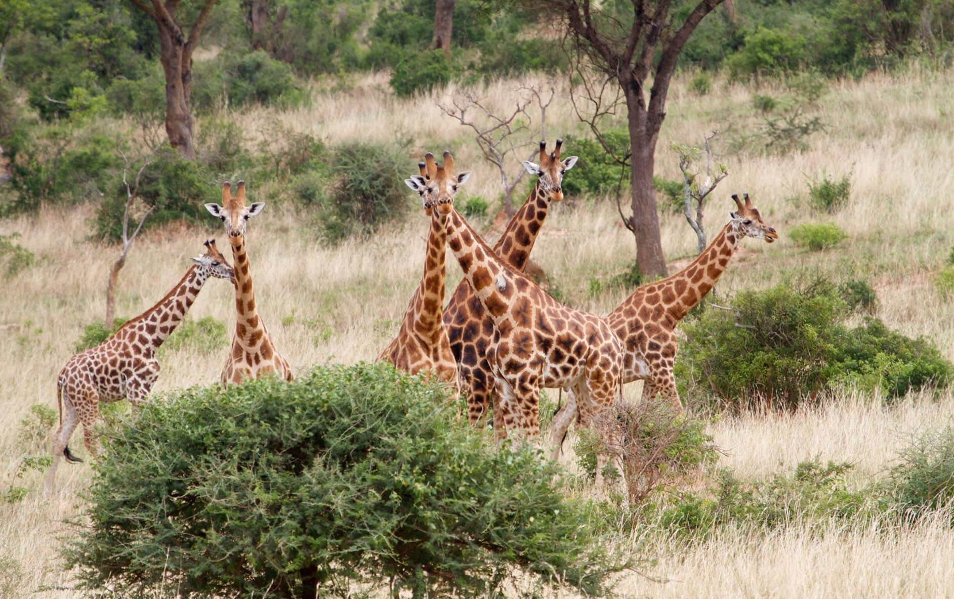 familia de jirafas murchison falls