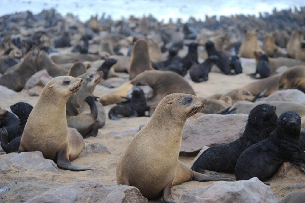 focas-cape-cross-namibia
