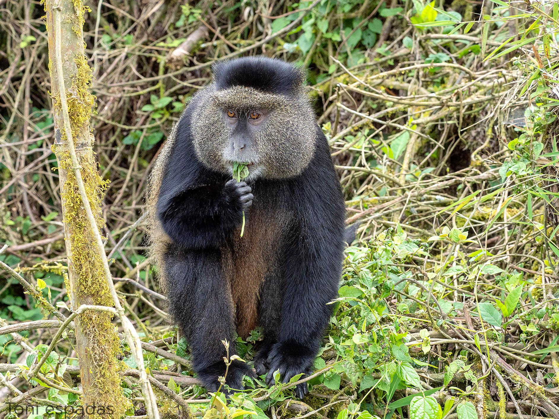 golden monkey Ruanda