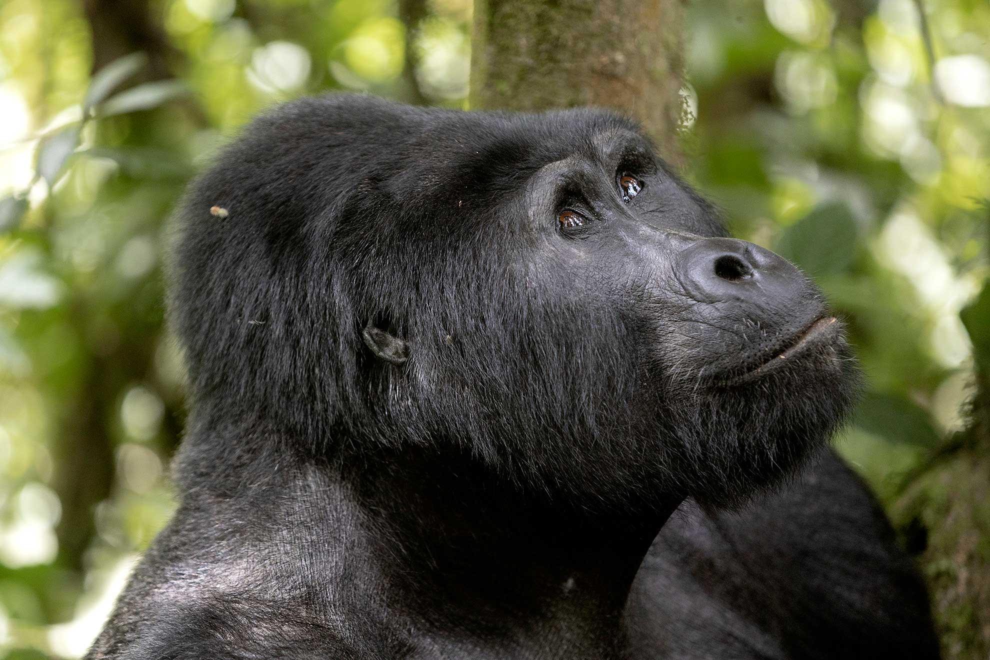 gorila Bwindi Uganda