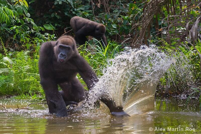 gorila Gabón
