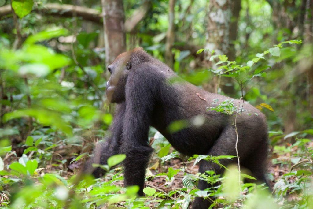 gorila-moukalaba-gabon