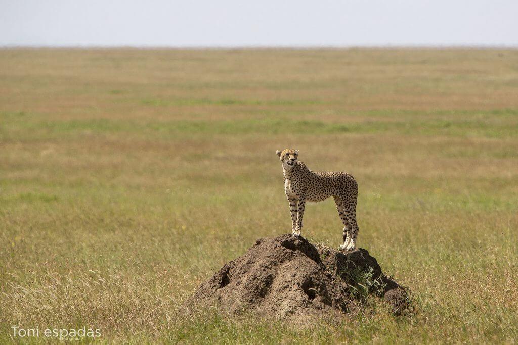 guepardo Serengeti Tanzania
