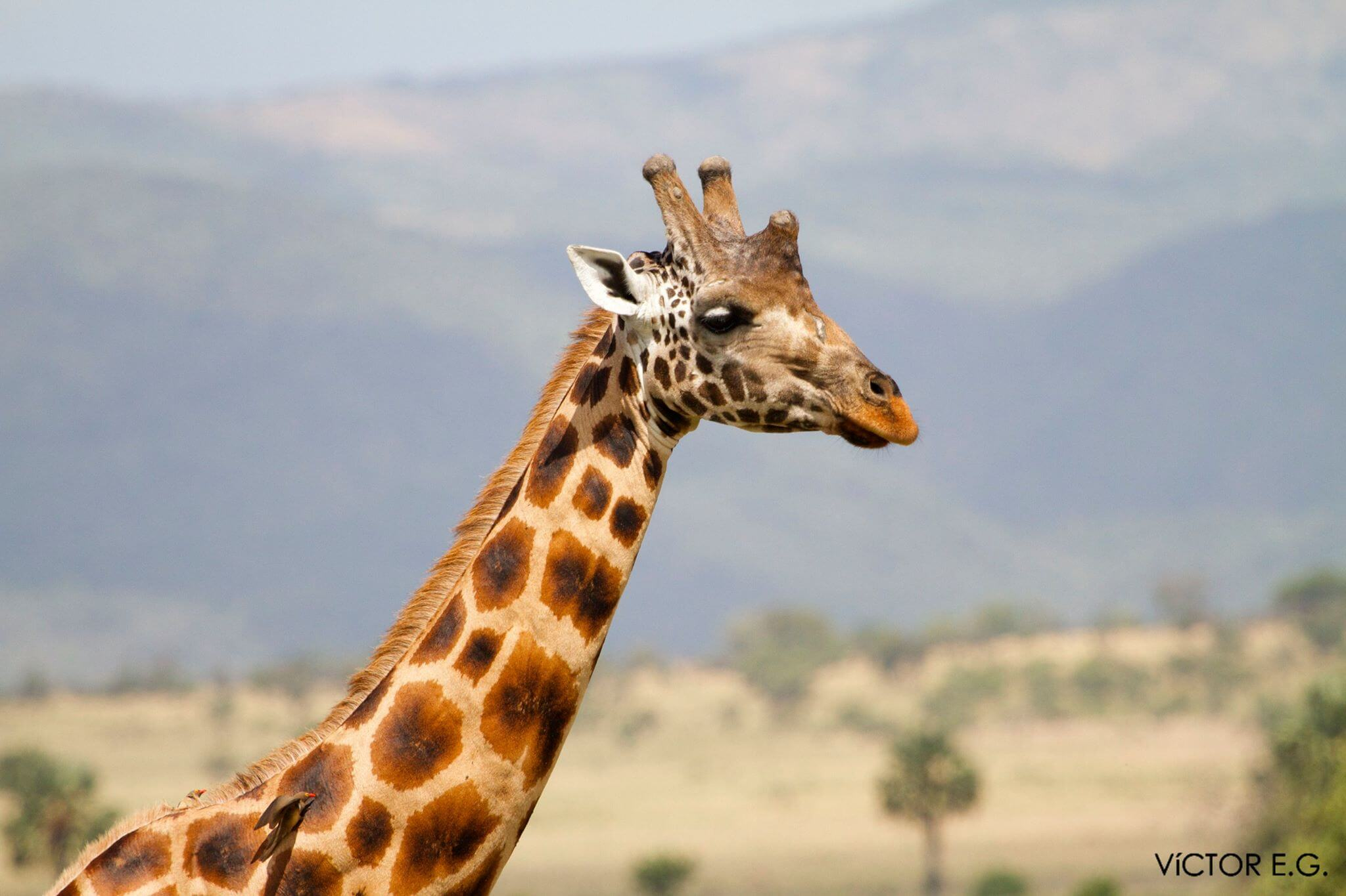 jirafa africana