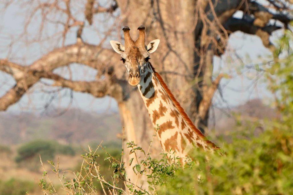 jirafa-baobab-ruaha