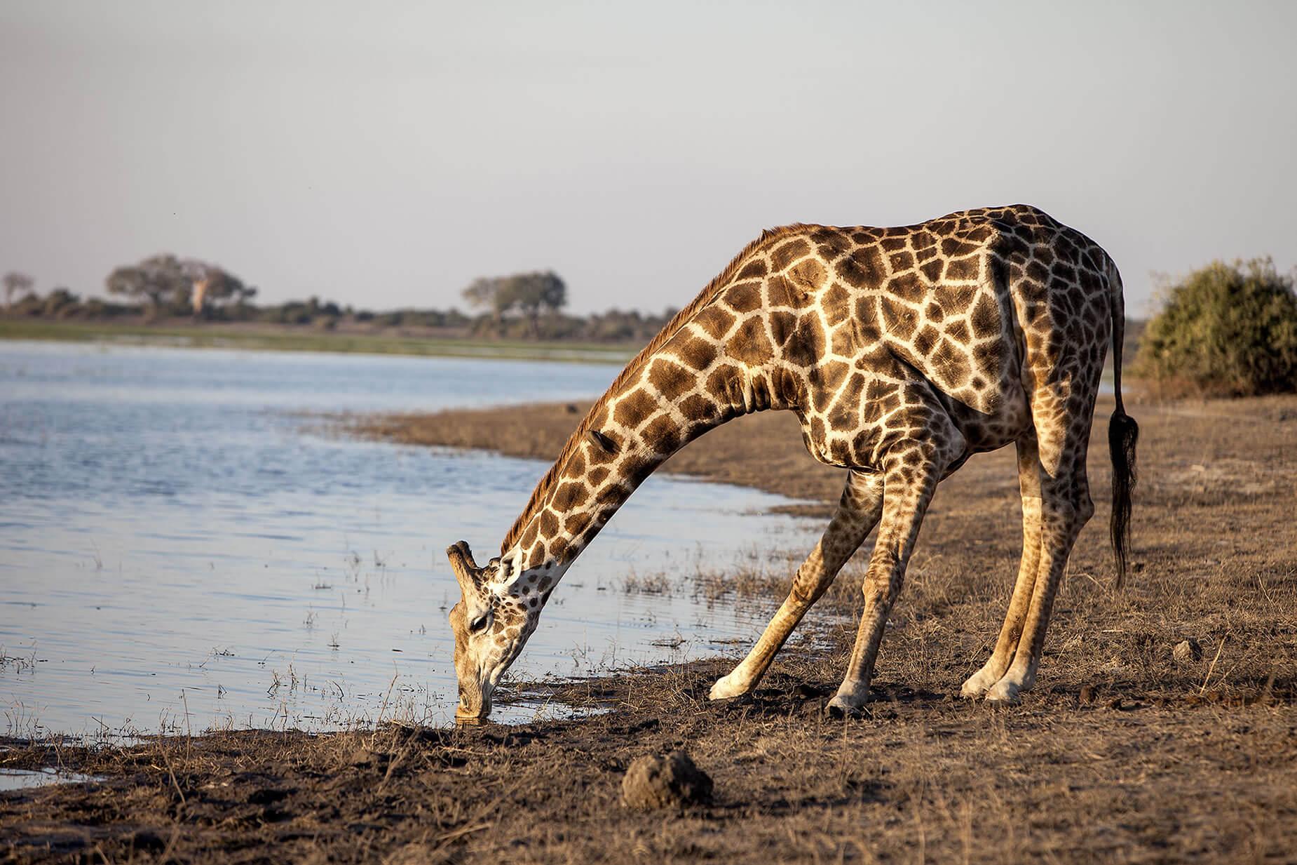 jirafa chobe