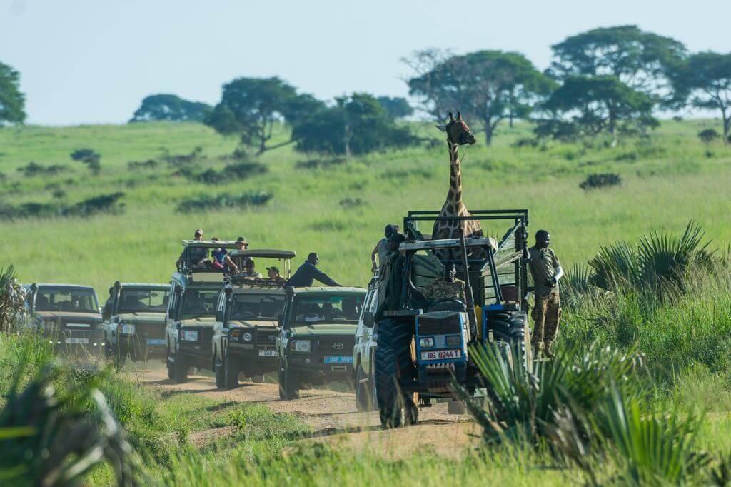 jirafa de rothschild