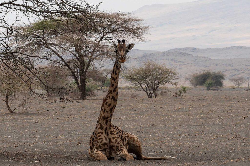 jirafa-natron