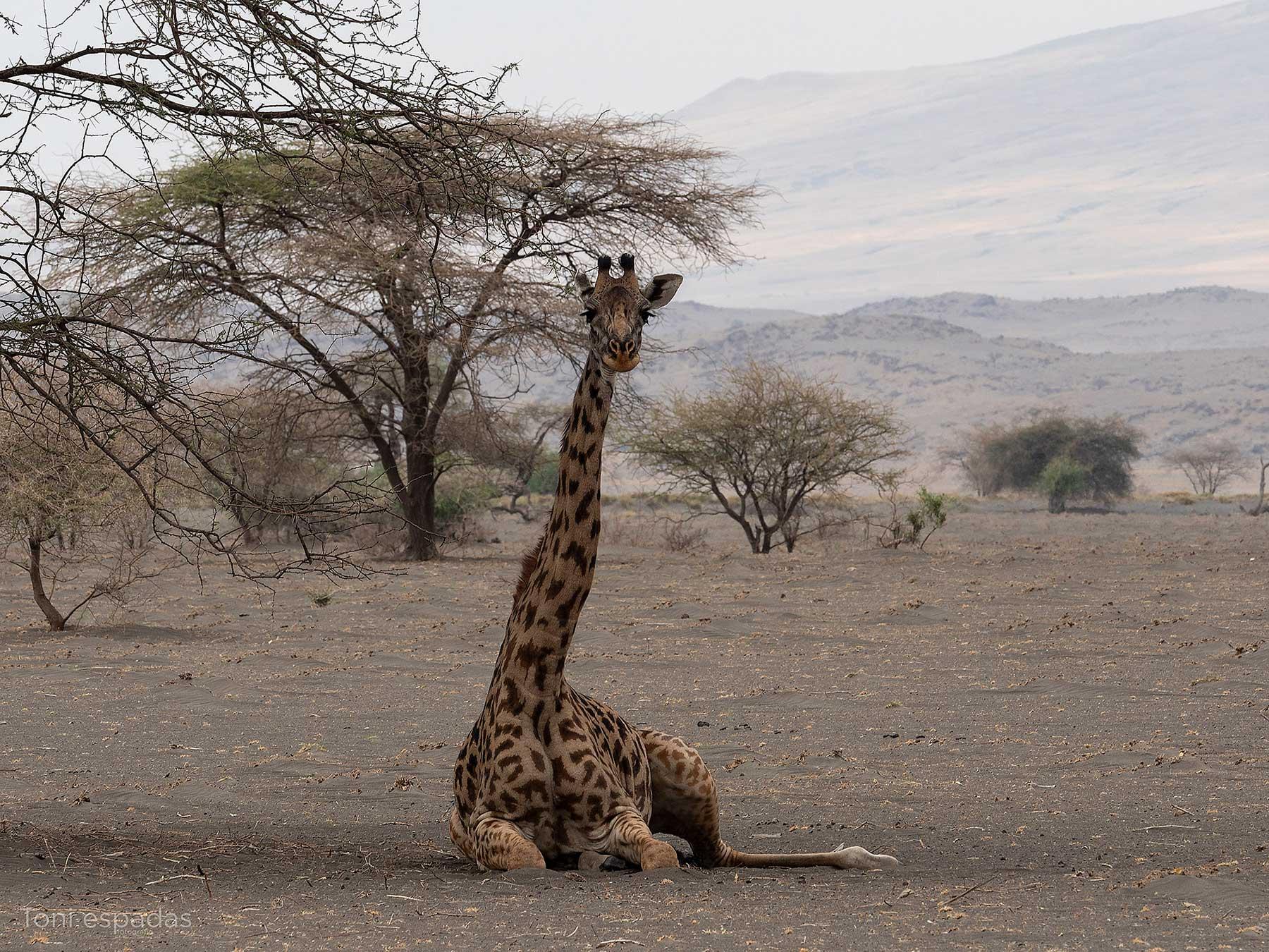 jirafa natron
