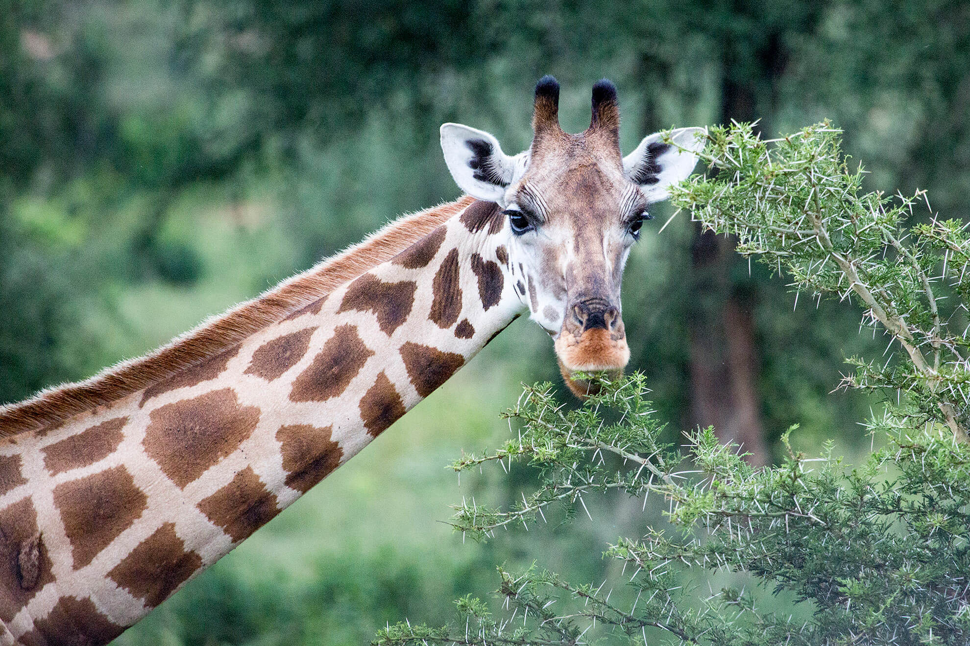 jirafa Rothschild murchison falls