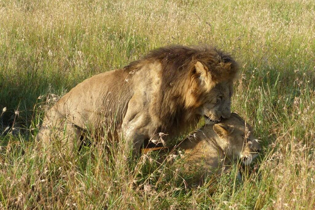 leones-tanzania-2