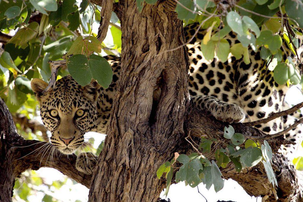 leopardo-botswana