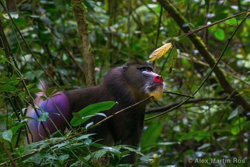 mandril en Gabón