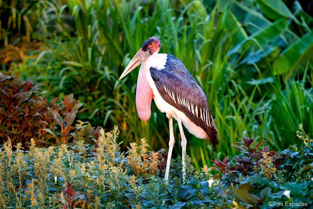 marabu-awasa-etiopia