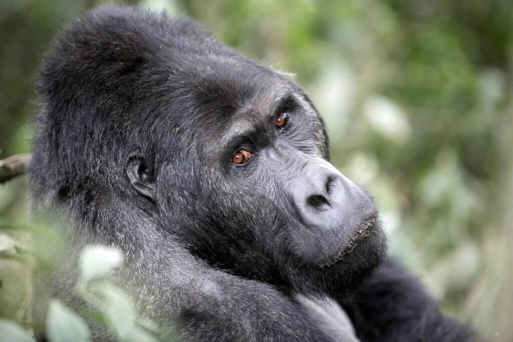 gorila mgainga Uganda