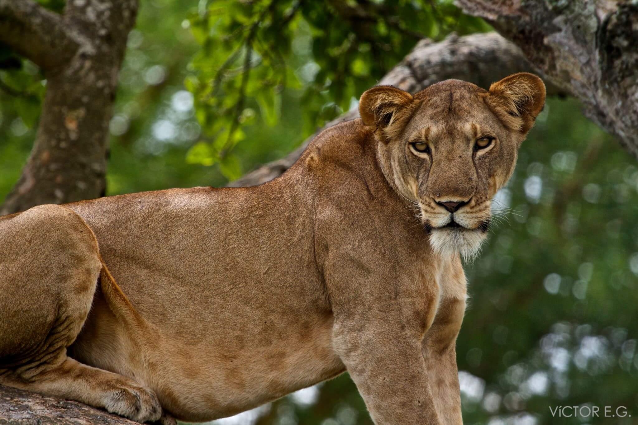 preciosa leona en Uganda
