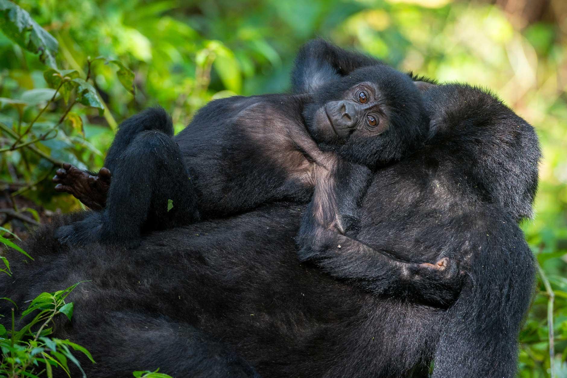 primates y gorilas Ruanda