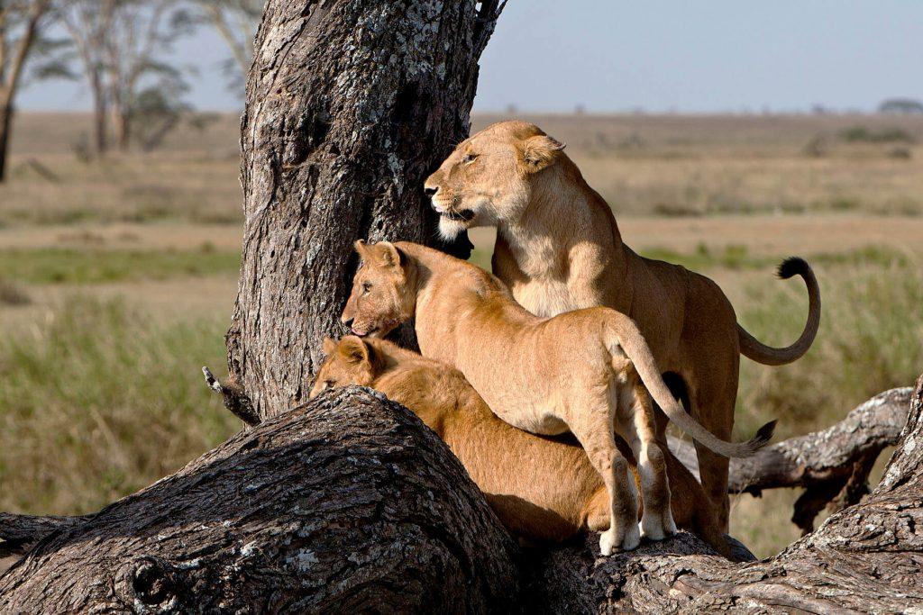 safari-leones-tanzania