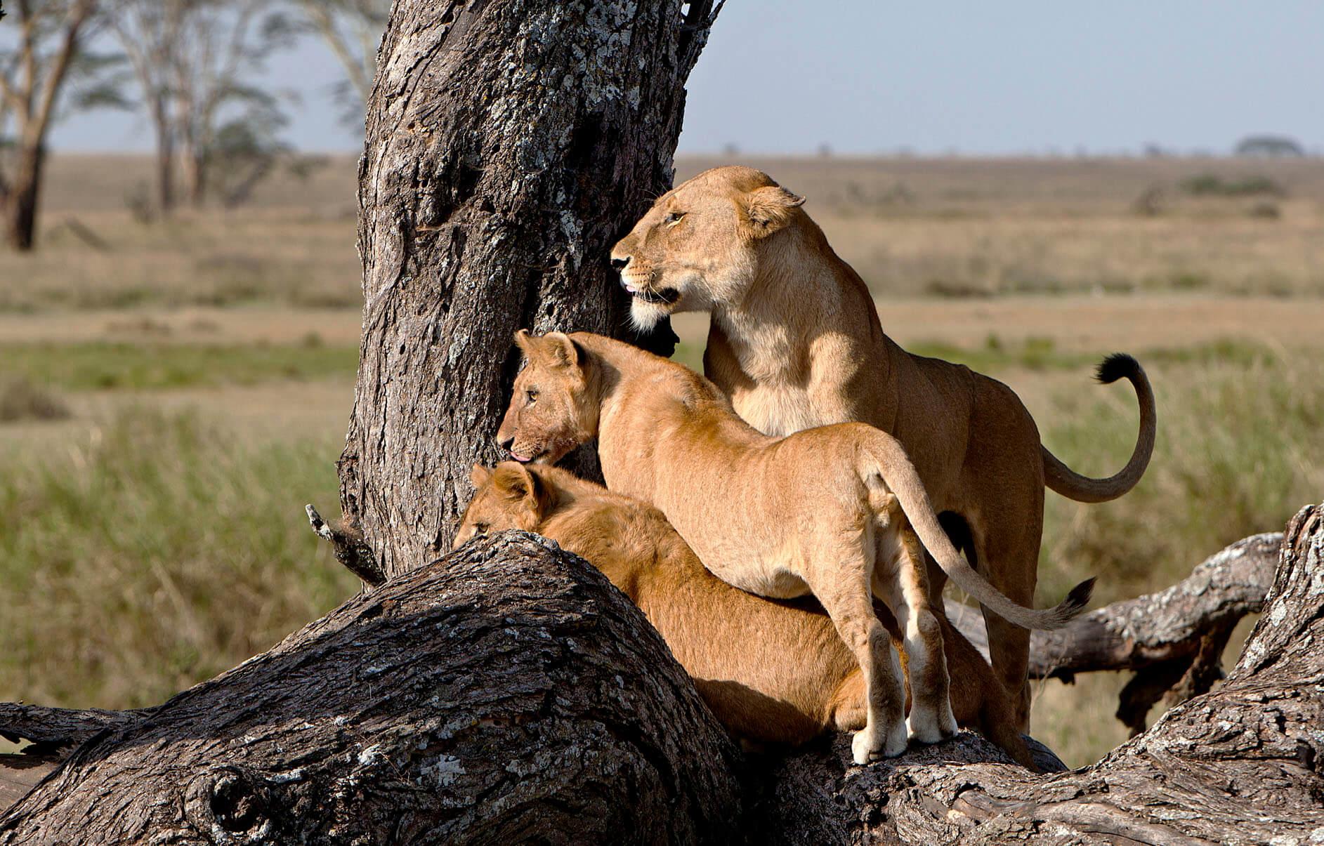 safari leones Tanzania