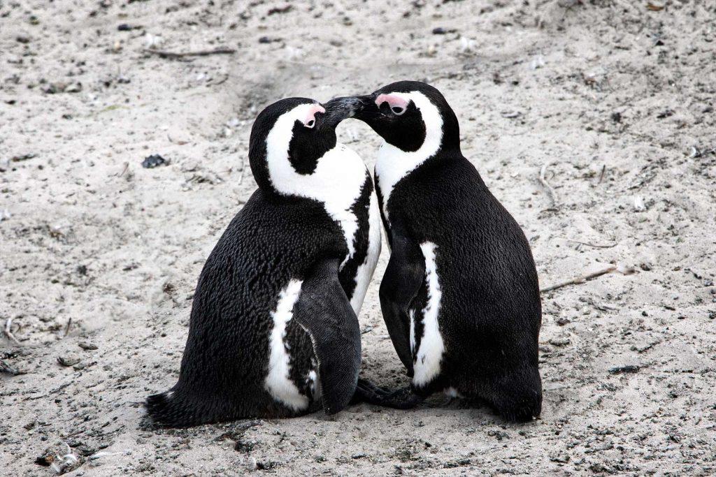 sud-africa-pinguinos