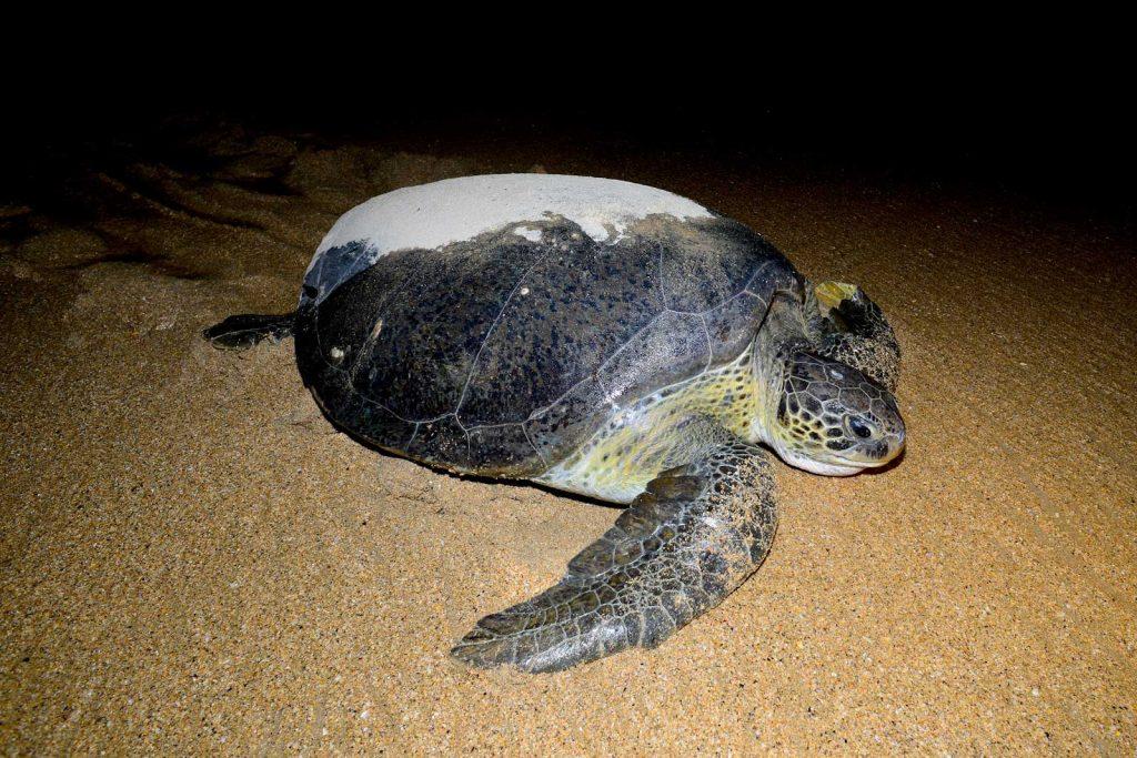tortuga-guinea-bissau
