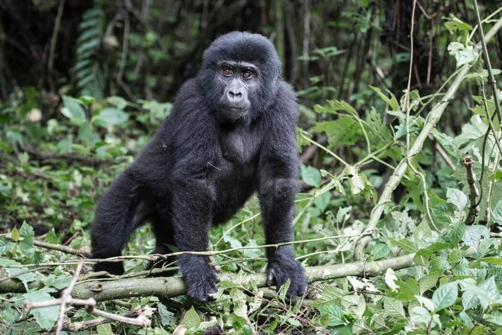 ver-gorilas-uganda