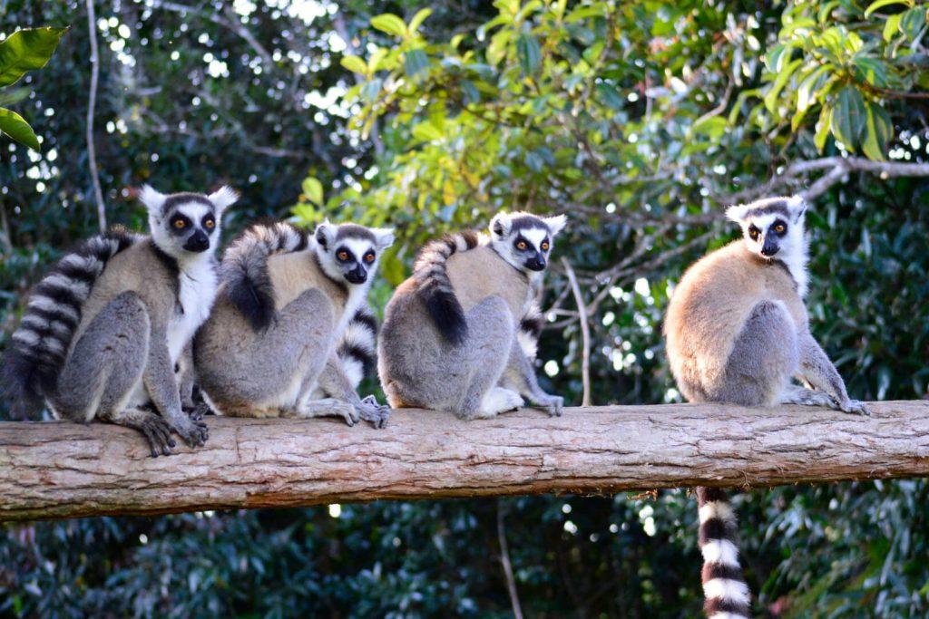 viajar-a-madagascar-lemures